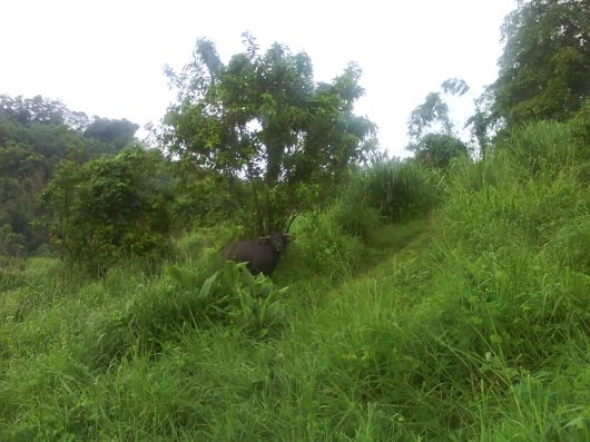 The stares of Water Buffalos kept us company